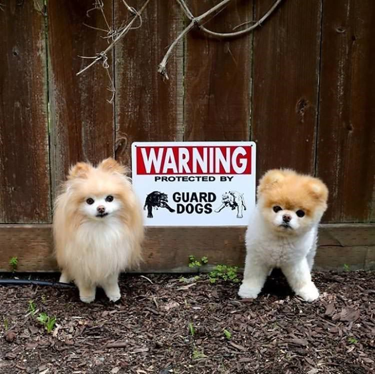 friendly and not at all scary dogs behind a fence with BEWARE OF DOG sign prominently displayed as a clear warning
