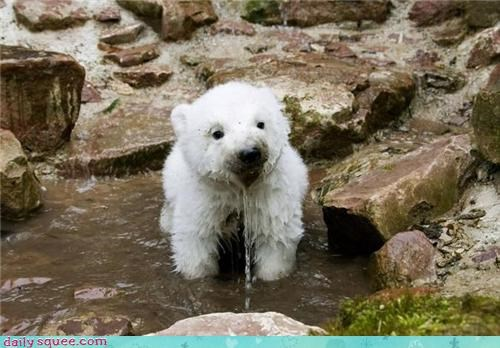 baby,bears,cubs,drinking,Hall of Fame,polar bears,poplar bear,squee,tiny,water,wet
