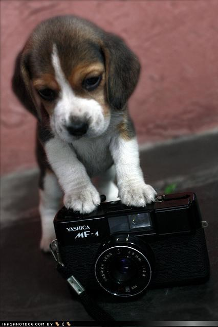 attempt beagle camera first Hall of Fame portrait puppy self self portrait themed goggie week trying vintage