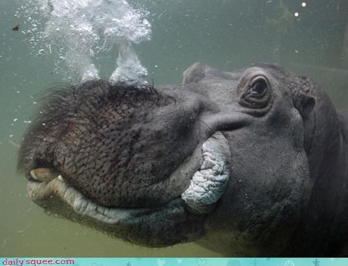 acting like animals awesome blowing bubbles excited hippo hippopotamus trick underwater - 4375827968