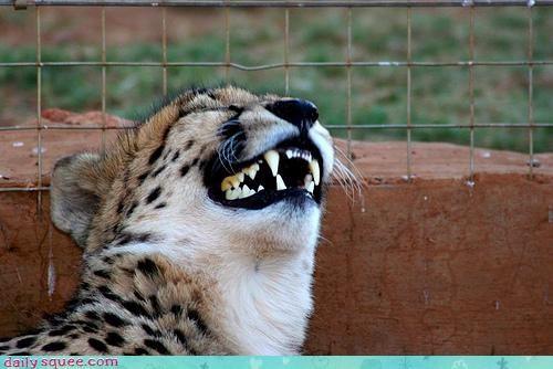 acting like animals cheetah crying funny laughing pomeranian - 4375828992