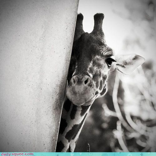 acting like animals,black and white,friends,friendship,giraffes,hiding,making,scared,shy,timid