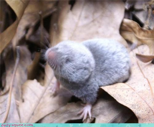 leaves no eyes rodent shrew tiny