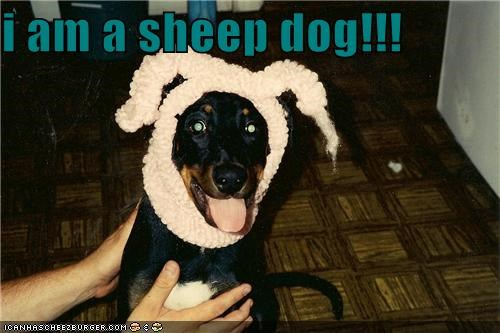 costume doing it wrong dressed up ears rottweiler sheep sheepdog wool - 4376294912