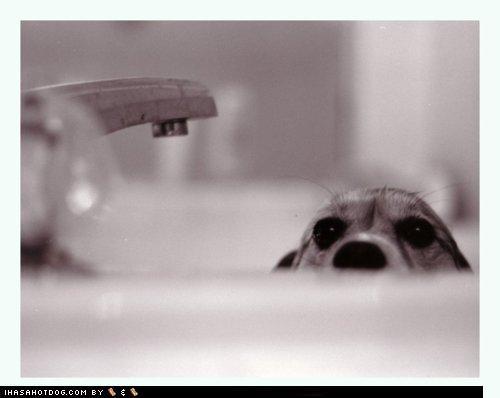bath bath time beagle black creature creature from the black lagoon lagoon Movie parody peeking pun puppy sink themed goggie week title