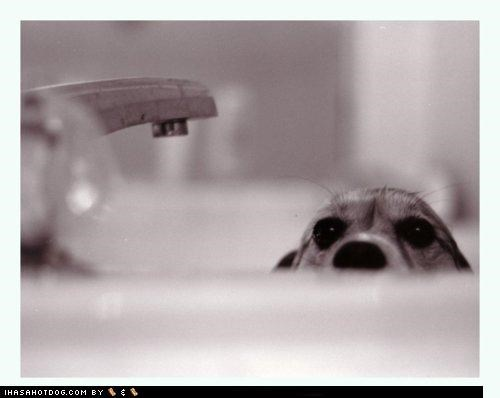 bath bath time beagle black creature creature from the black lagoon lagoon Movie parody peeking pun puppy sink themed goggie week title - 4378903808