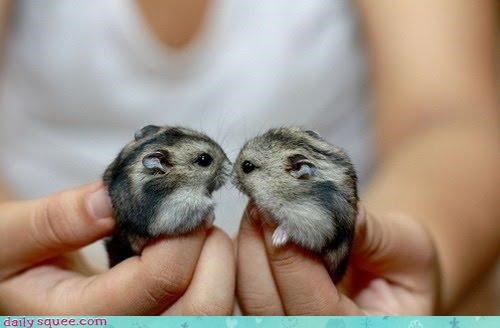 hamster,hamsters,hands,kissing,Memes,now kiss,squee,tiny