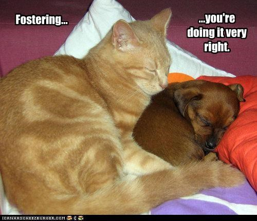 cat cuddling dachshund doing it right fostering friendship Hall of Fame puppy sleeping tabby - 4380448256