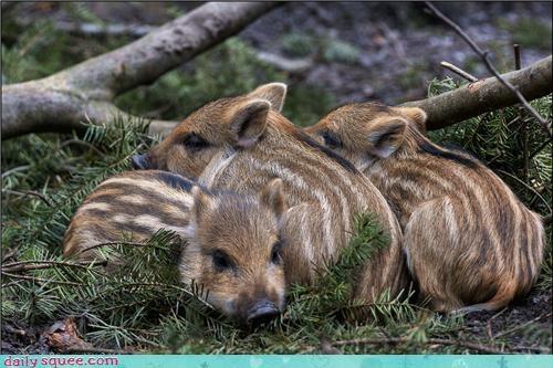 Babies boars piglets pig stripes - 4381095936
