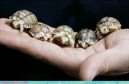 baby Hall of Fame handful hands shells squee tiny tortoise turtles - 4381785344