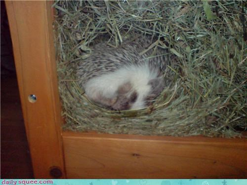 curl cute hedgehog nap - 4384077824