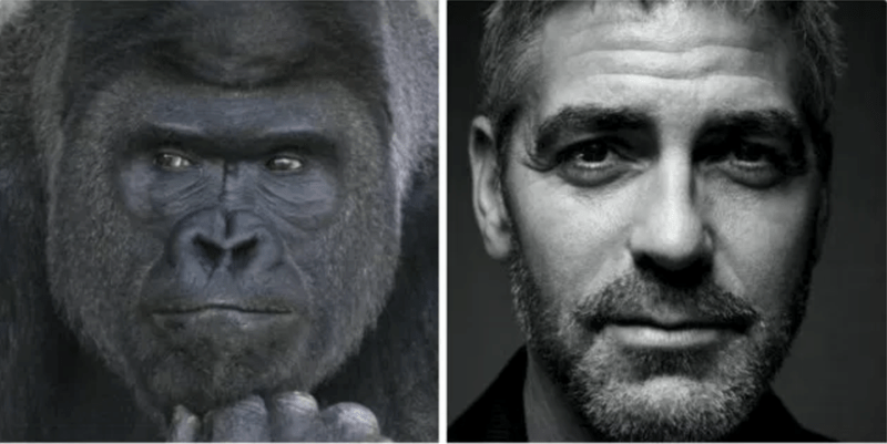 a funny list of a gorilla looing like george clooney