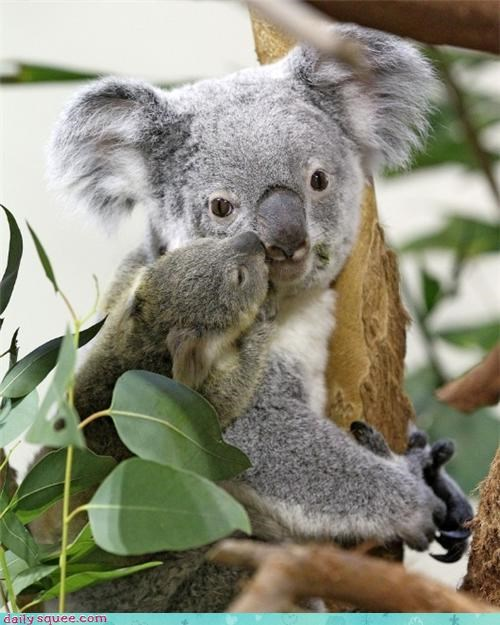 baby,KISS,koala,koala bears,koalas,leaves,mama,mom,moms,squee spree,tree,trees