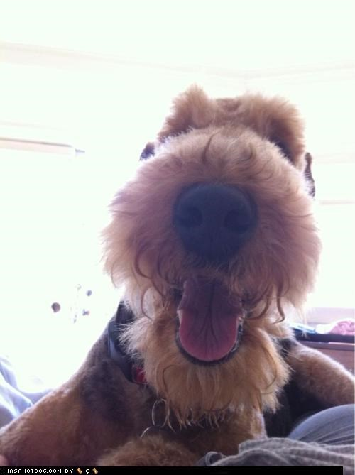 airedale terrier boop booping close up nose themed goggie week winner zoom
