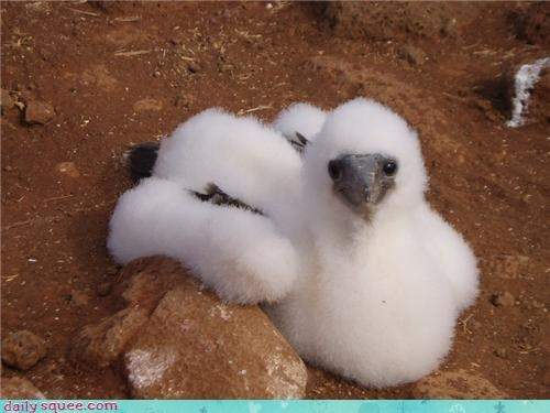 bird boobie Fluffy rock - 4388665088