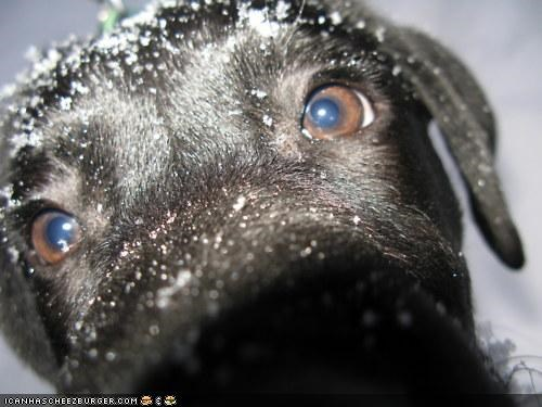 boop close up cyoot puppeh ob teh day hello labrador nose ohai puppy snow - 4389140736