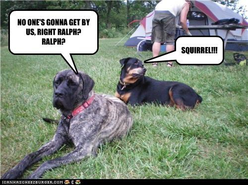 bull mastiff bullmastiff camping distracted distraction guarding guards mixed breed protecting question reassurance rottweiler squirrel