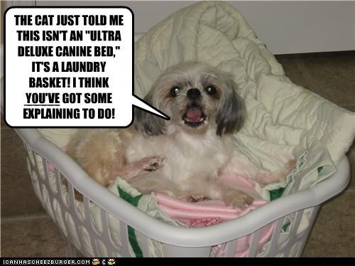 bed cat confusion demanding discovery explaining explanation laundry lies realization shih tzu told - 4390587392