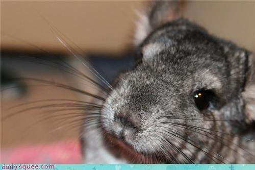 chinchilla closeup whiskers - 4390702336