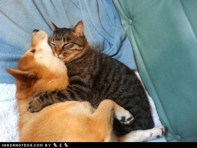 cat choking cuddling friends friendship hugs kittehs r owr friends nice shiba inu sleeping - 4391233024
