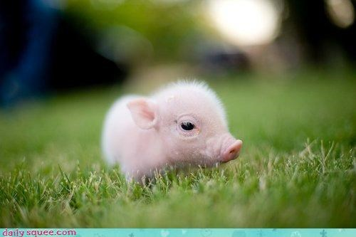 acting like animals adorable baby cute pig piglet squee unbelievable - 4392441088