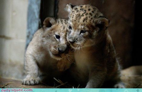 Babies big cats cougars cubs jaguars leopards pumas siblings squee - 4393950208