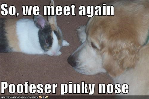 bunny,enemies,golden retriever,nose,pink,professor,rabbit,reunion