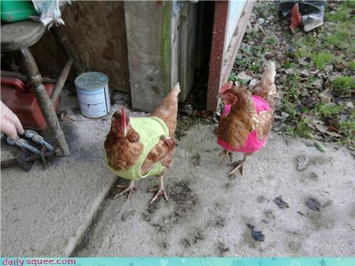 chicken cute pet - 4395020032