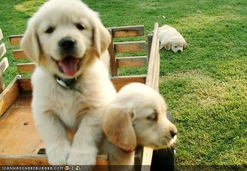cyoot puppeh ob teh day,excited,journey,labrador,moving,oregon trail,pun,puppies,puppy,ride,riding,wagon