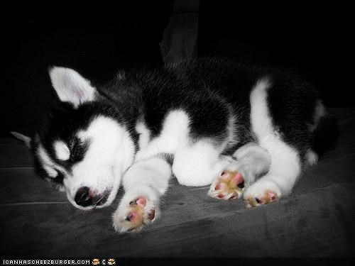 black cyoot puppeh ob teh day husky puppy sleeping squee tiny white