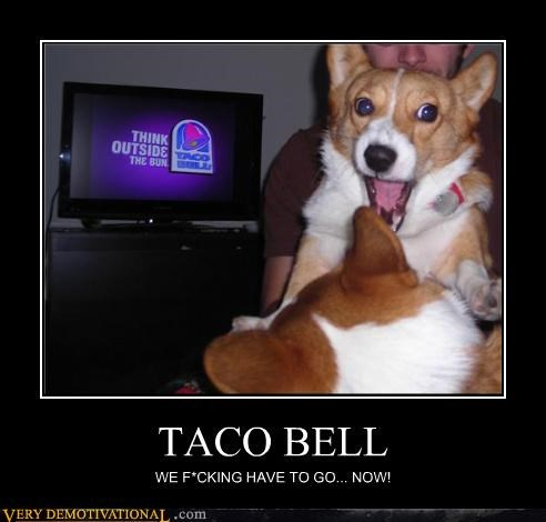 corgi food hungry taco bell - 4396818432