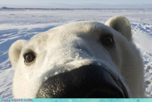 acting like animals bear camera closeup examining face lens polar bear Staring zoom