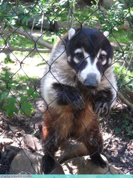 coatimundi,fence,greetings,hello