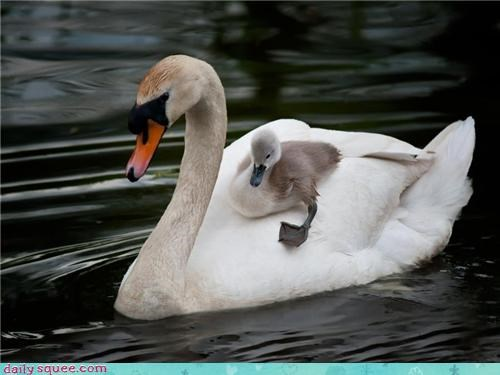 baby,back,mom,mothers day,ride,swan,water