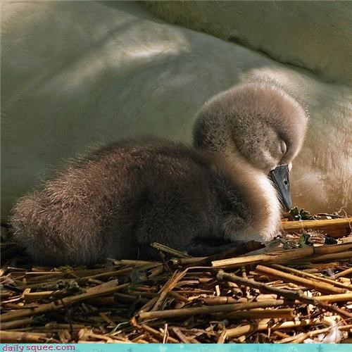baby,bird,cygnet,nap,sleeping