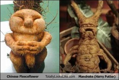 chinese fleeceflower Harry Potter mandrake plants
