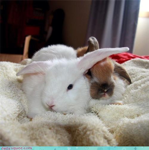 bunnies grumpy pets rabbits reader squees snuggle - 4404124672