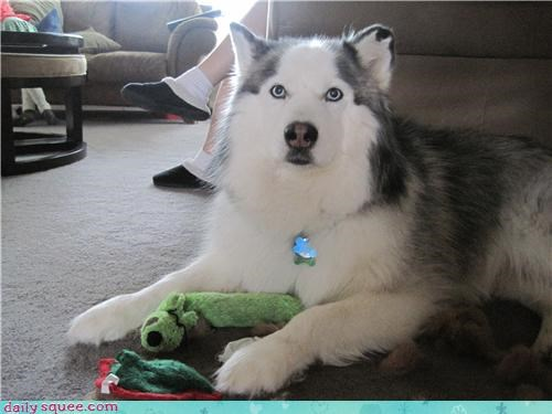 dogs,husky,Jake,pet,reader squees,toy