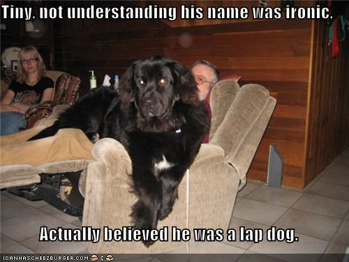 belief,believing,doesnt-understand,Hall of Fame,irony,lap,lap dog,name,newfoundland,sitting,tiny,understanding