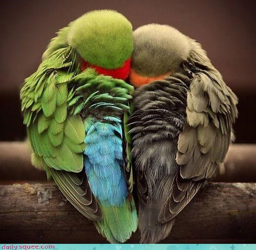 birds colorful cuddle Hall of Fame heart love snuggle - 4408345088