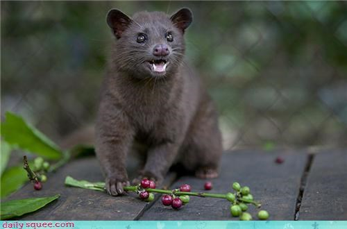 civet,coffee,noms