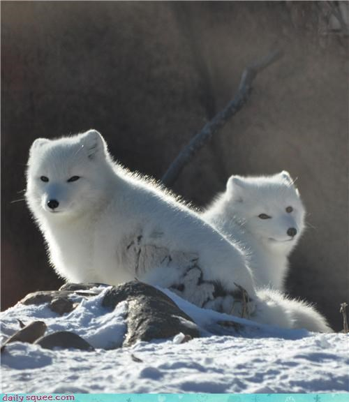 arctic foxes,cold,detroit zoo,foxes,snow,white