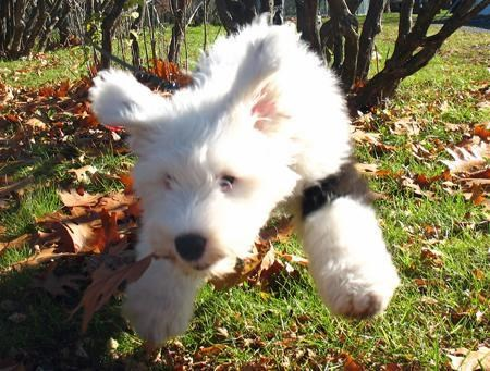 excited Fluffy flying happy hoverdog jumping old english sheepdog playing puppy running themed goggie week - 4412466944