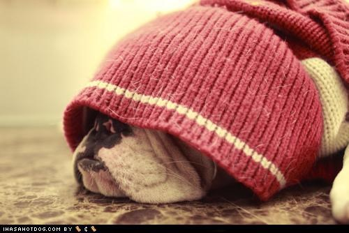bulldog,clothing,do not want,dressed up,hiding,monday,pink,sleeping,sleepy,sweater,tired