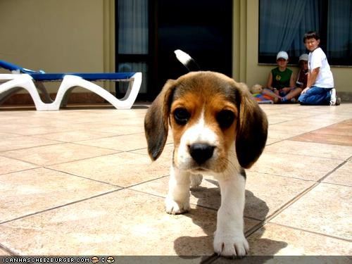 approaching beagle cyoot puppeh ob teh day puppy threat warning - 4413484544