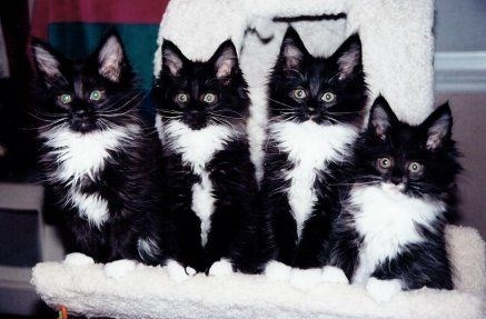 four tuxedo cats with black fur and white bellies and chests