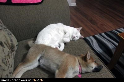 cat couch cuddling definition kittehs r owr friends love puppy sharing shiba inu sleeping