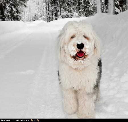 confused,face,old english sheepdog,playing,snow,stuck,themed goggie week,what do you mean,what,winter