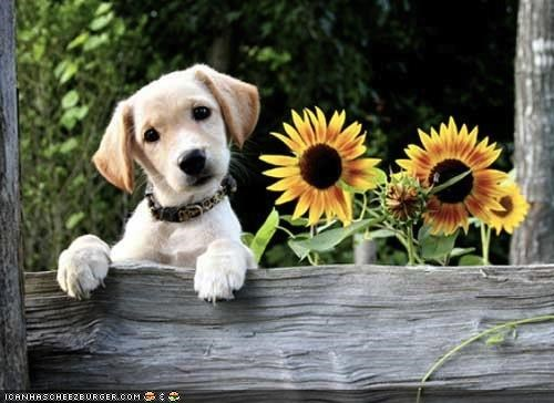 cyoot puppeh ob teh day fence labrador mixed breed name ohai peeking puppy standing sunflower sunflowers
