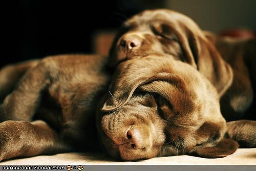 cuddling cute cyoot puppeh ob teh day dreaming labrador puppies puppy sleeping snuggling - 4416325632